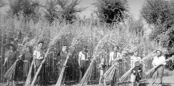 Harvesting Hemp