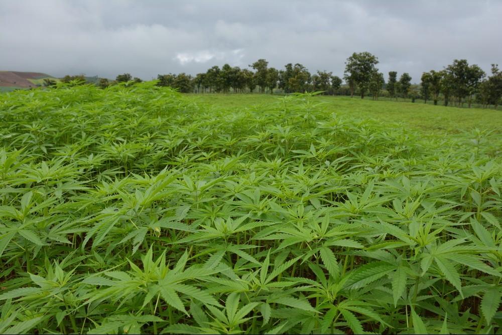 Legal Cannabis Farm