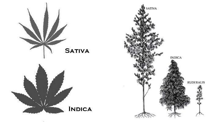 Sativa vs Indica vs Ruderalis